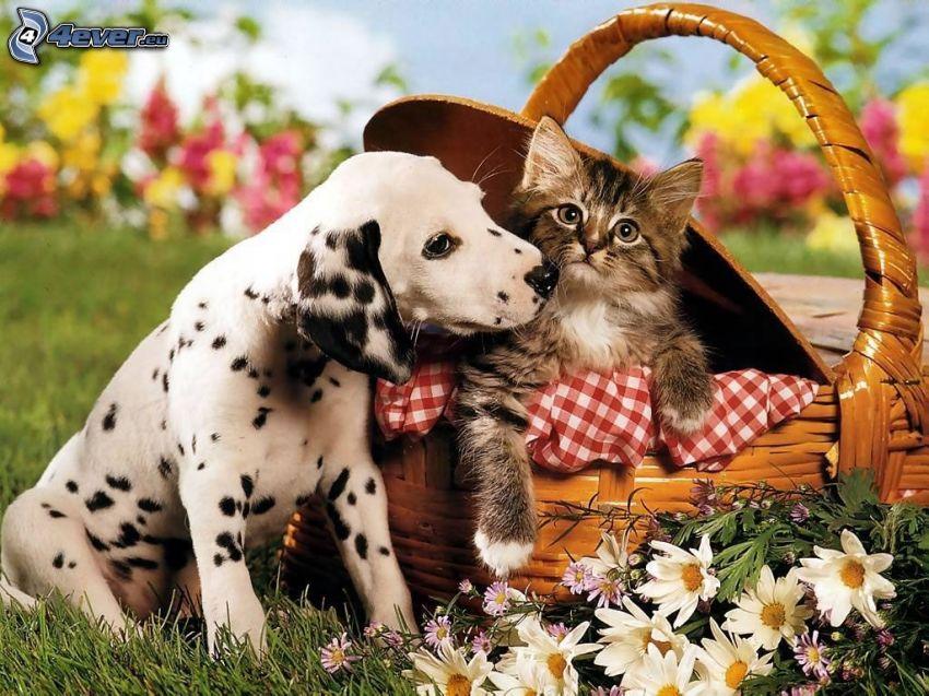 Dálmata, gatito en una cesta