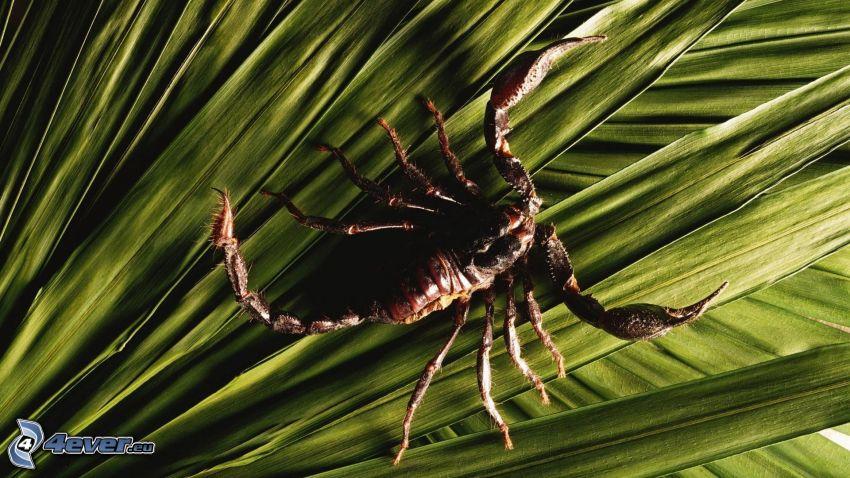 escorpión, hojas