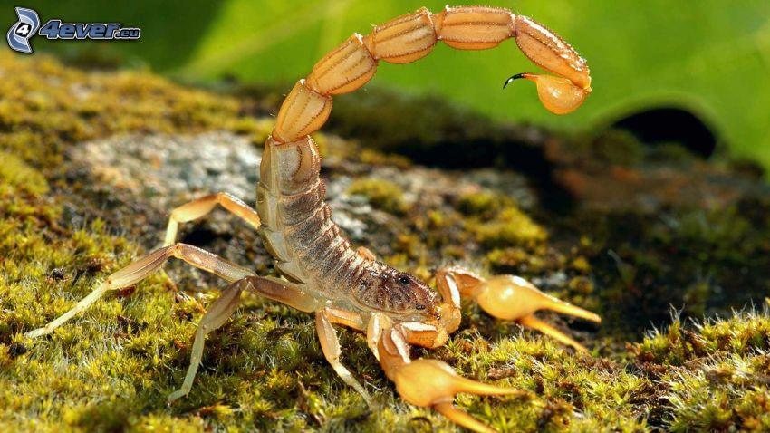 escorpión, musgo
