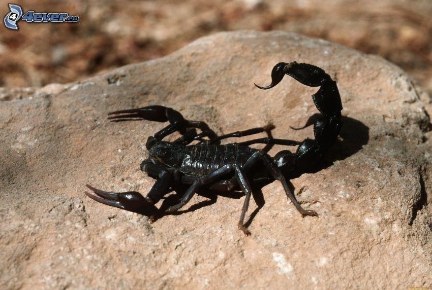 escorpión, roca