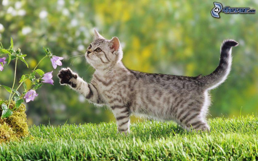 gatito con ganas de jugar, campanas ingleses color púrpura, hierba