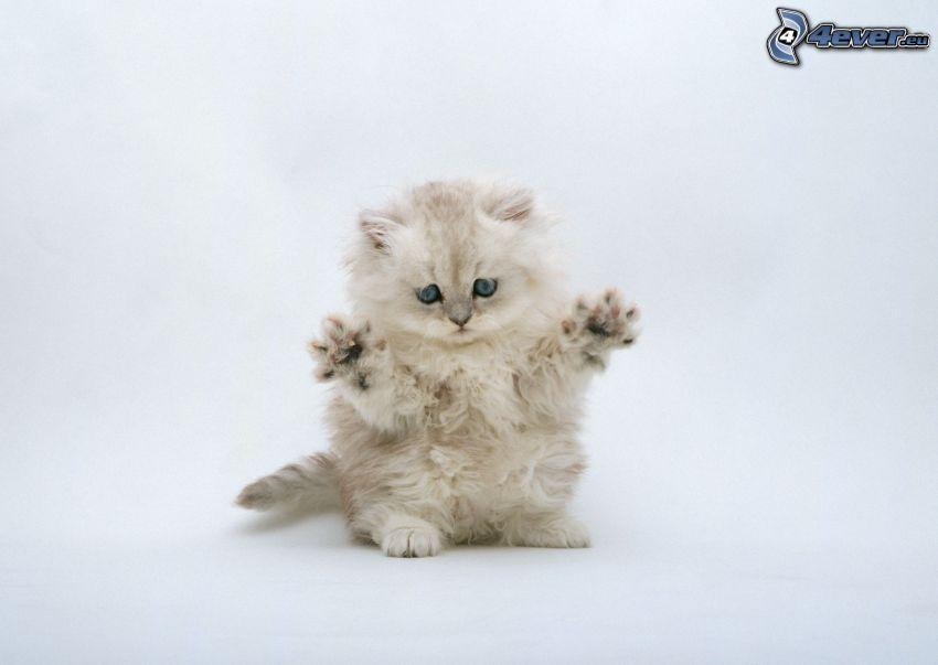gatito peludo, pies