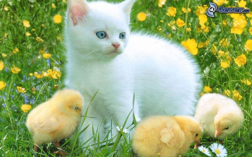 gato blanco, pollitos, flores amarillas