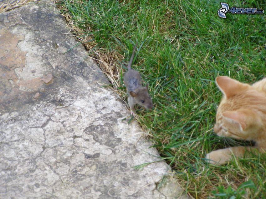 gato y el ratón, gato de pelo pelirrojo
