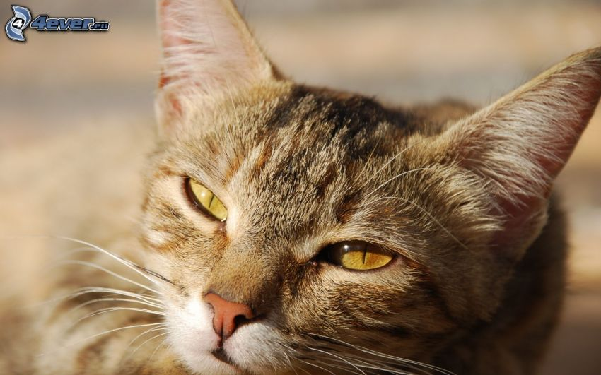 cabeza de felino, gato perezoso