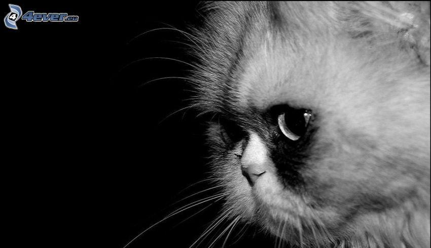 el gato pérsico, blanco y negro