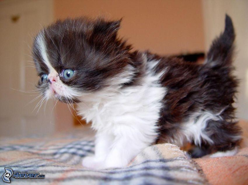 el gato pérsico, gatito blanco y negro