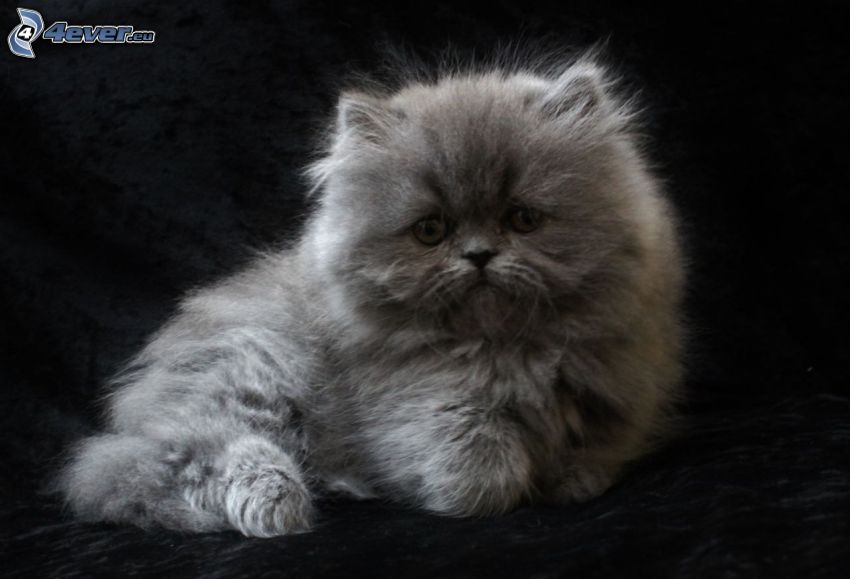 el gato pérsico, gatito gris