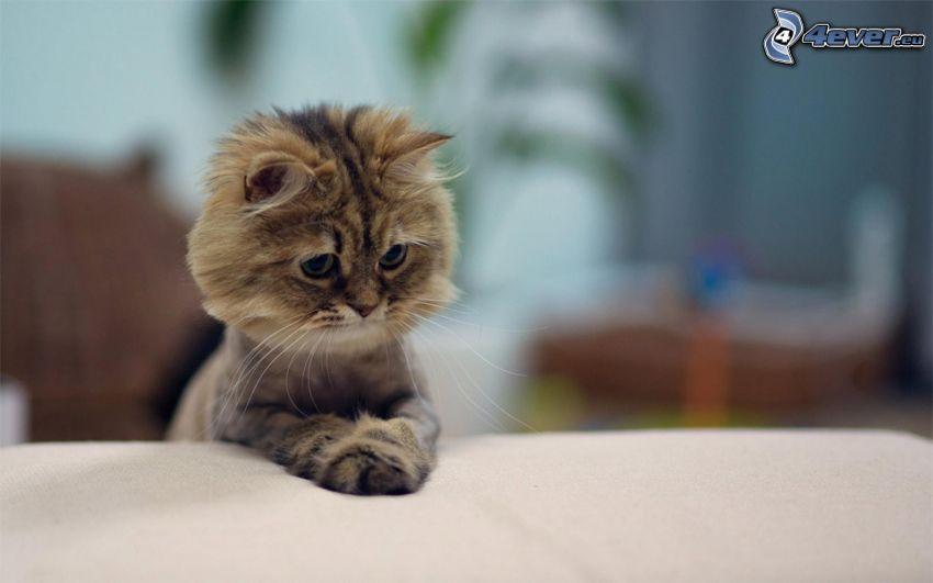 el gato pérsico, gatito marrón