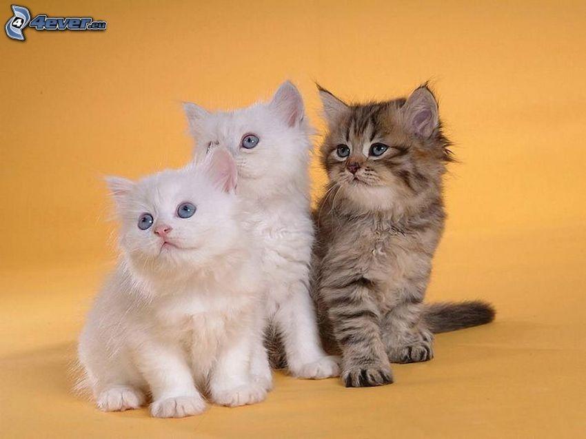 el gato pérsico, gatitos