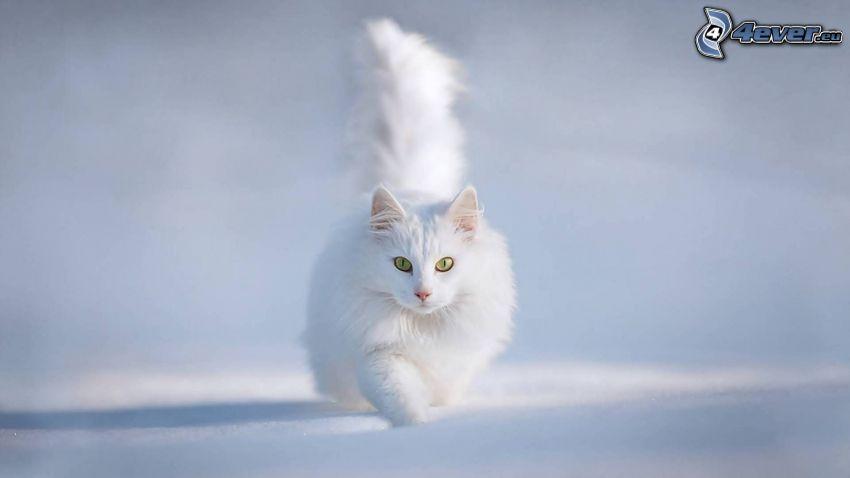 el gato pérsico, gato blanco, nieve
