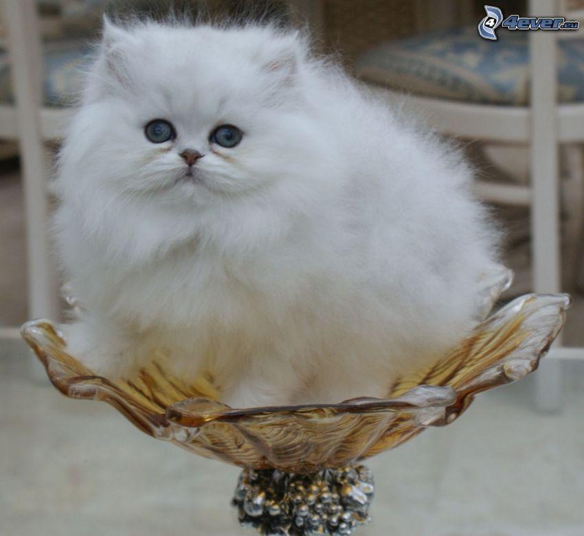 el gato pérsico, gato blanco, tazón