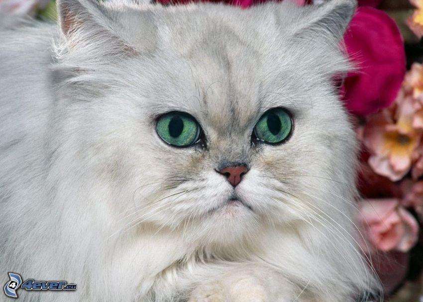 el gato pérsico, gato blanco