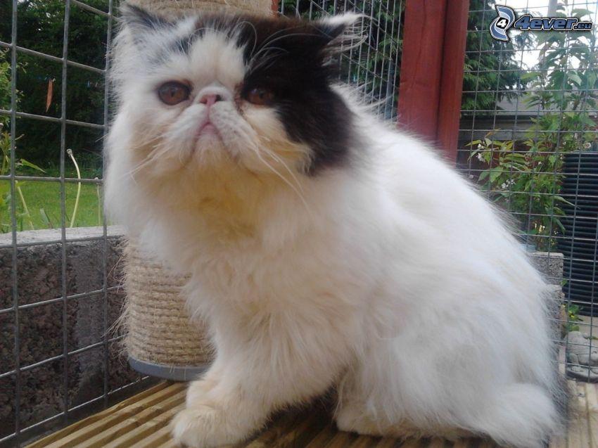 el gato pérsico, gato blanco y negro