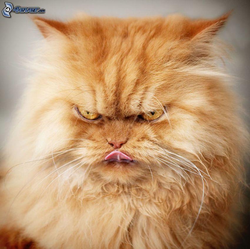 el gato pérsico, gato de pelo pelirrojo, ira