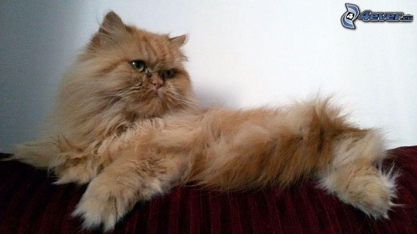 el gato pérsico, gato de pelo pelirrojo