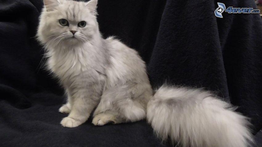 el gato pérsico, gato gris