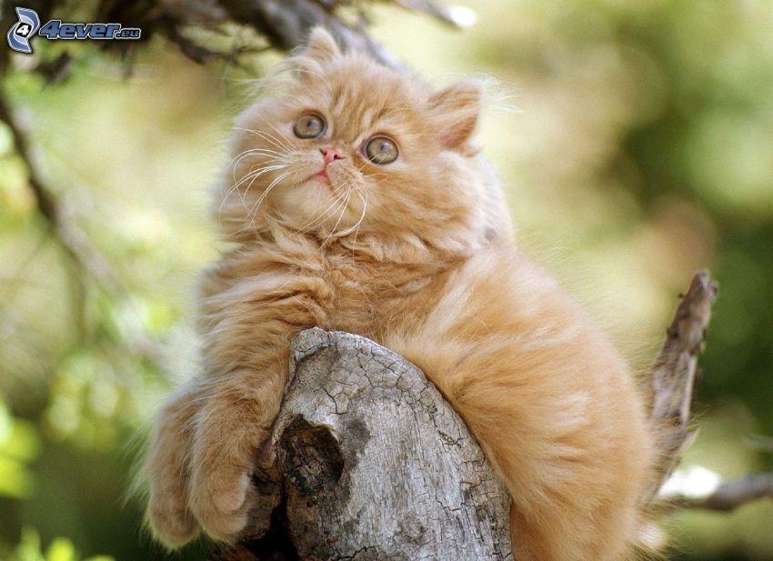 el gato pérsico, gato marrón, madera