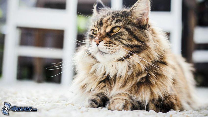 el gato pérsico, gato marrón