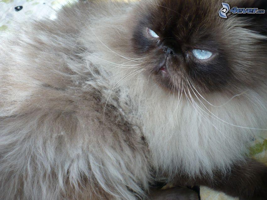 el gato pérsico, gato peludo