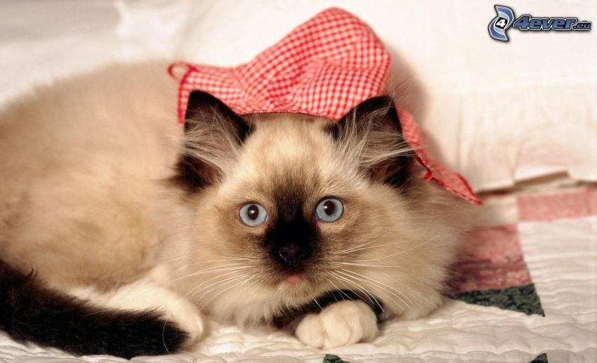 el gato pérsico, gorro