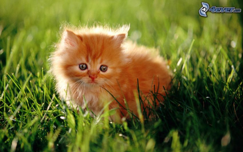 el gato pérsico, pequeño gato pelirrojo, hierba