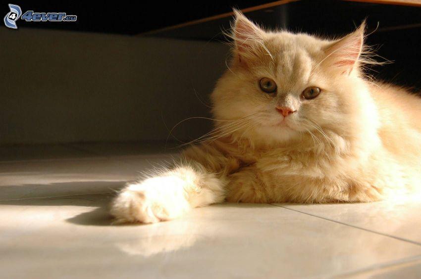 el gato pérsico