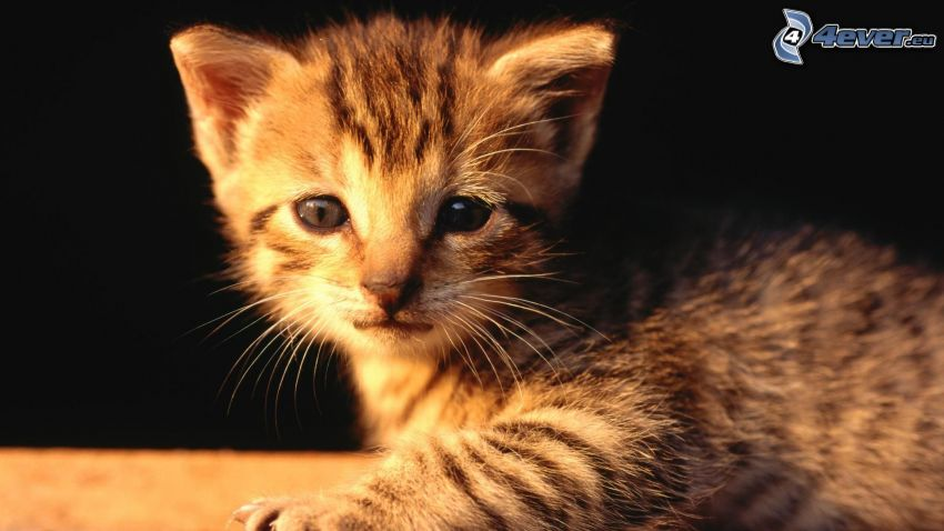 gatito, mirada de gato