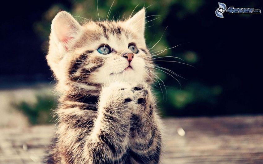 gatito, pies, oración