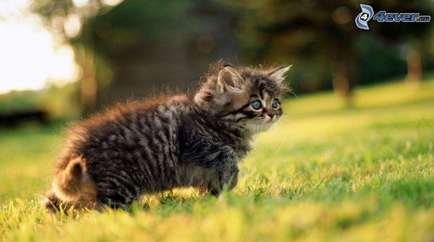 gatito