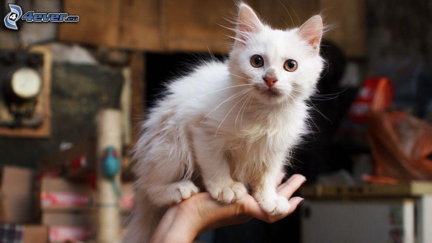 gatito blanco, mano