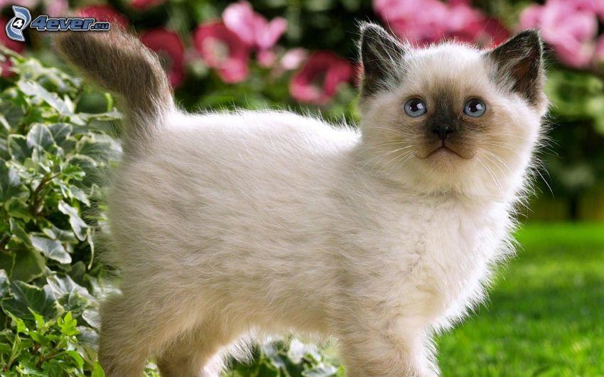gatito blanco, ojos azules
