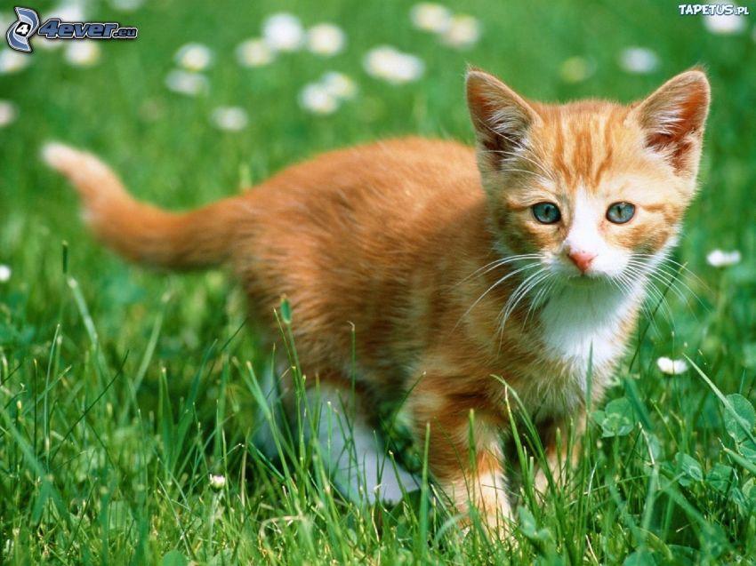 gatito color herrín, hierba verde