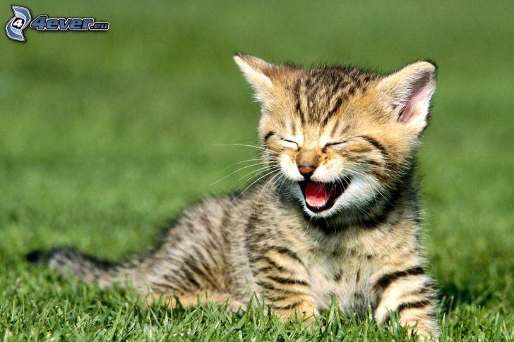 gatito en el prado, bostezar