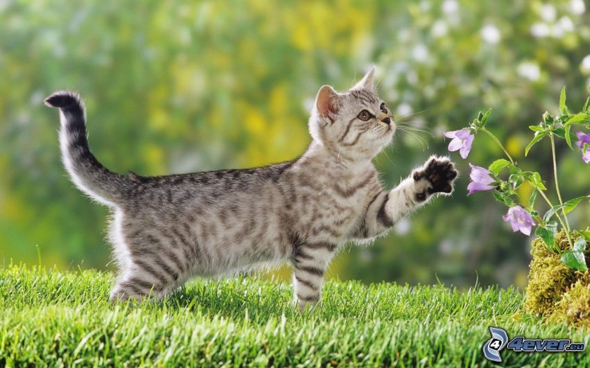 gatito gris, césped