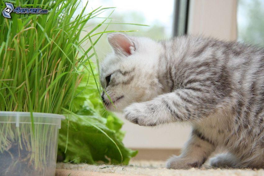 gatito gris, paja de hierba