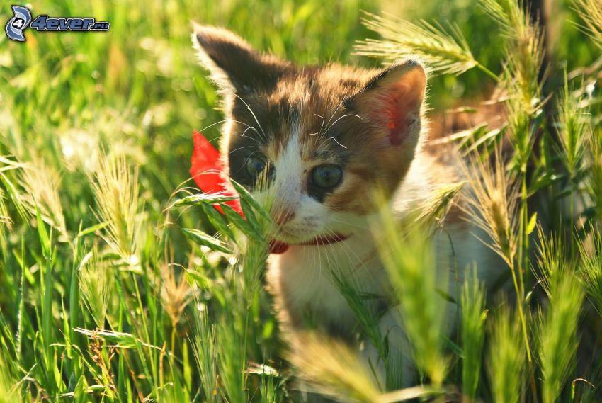 gatito manchado, gato en la hierba
