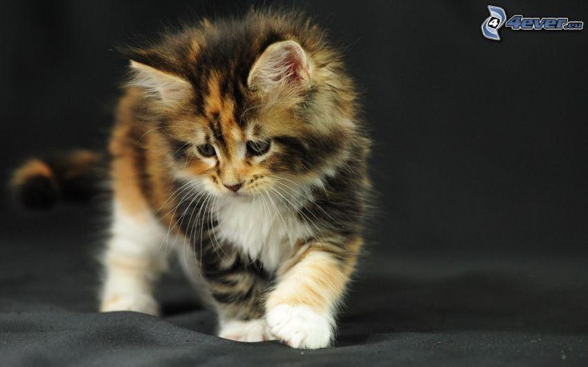 gatito manchado