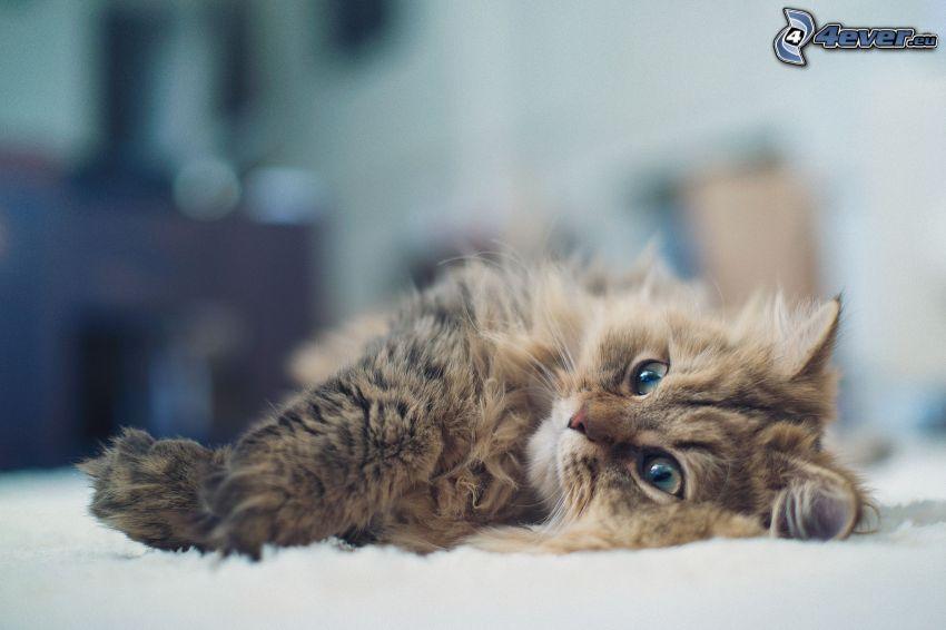 gatito marrón, gatito peludo