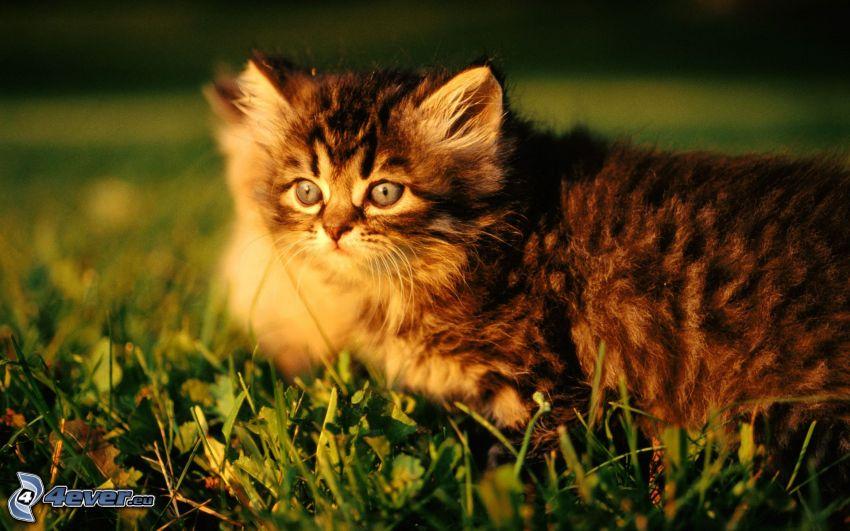 gatito marrón, hierba