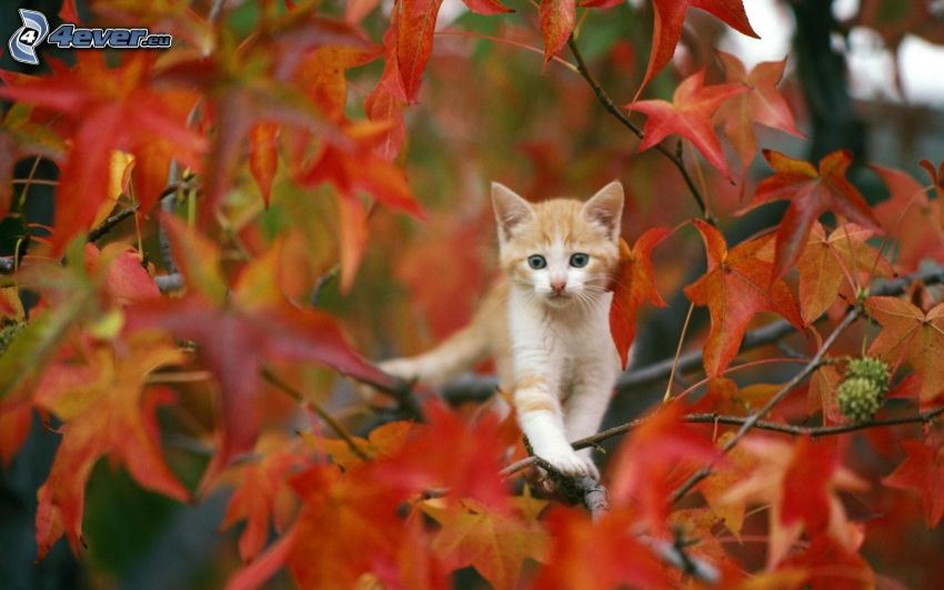 gatito marrón, hojas rojas
