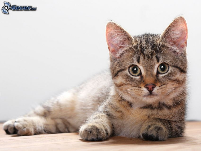 gatito marrón, mirada