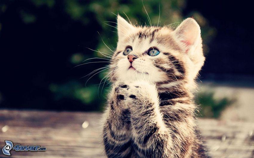 gatito marrón, oración, mirada de gato