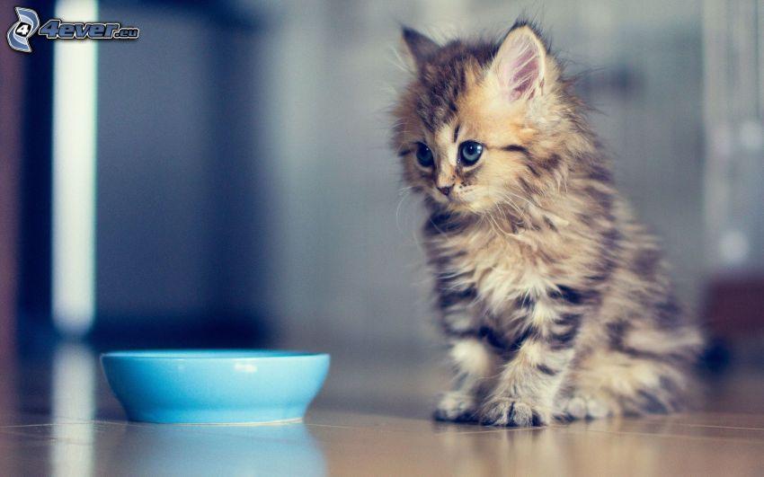 gatito marrón, tazón