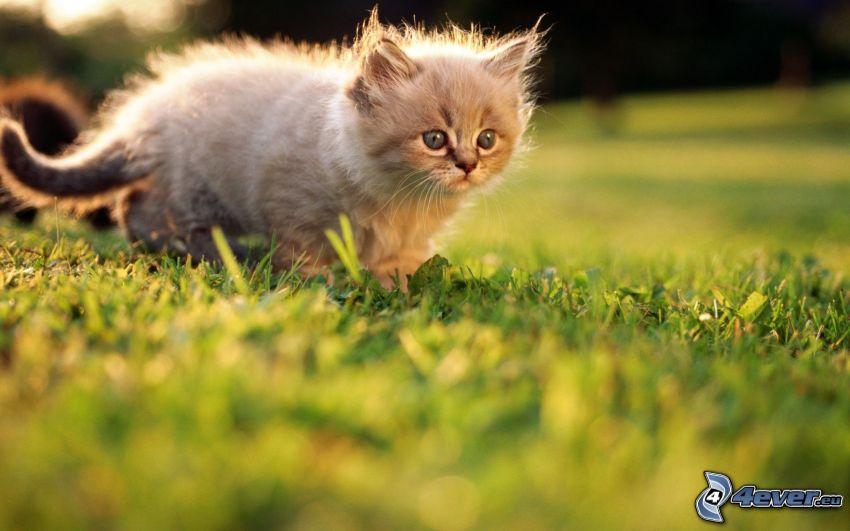 gatito peludo, césped