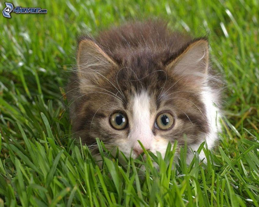 gatito peludo, gato en la hierba, césped