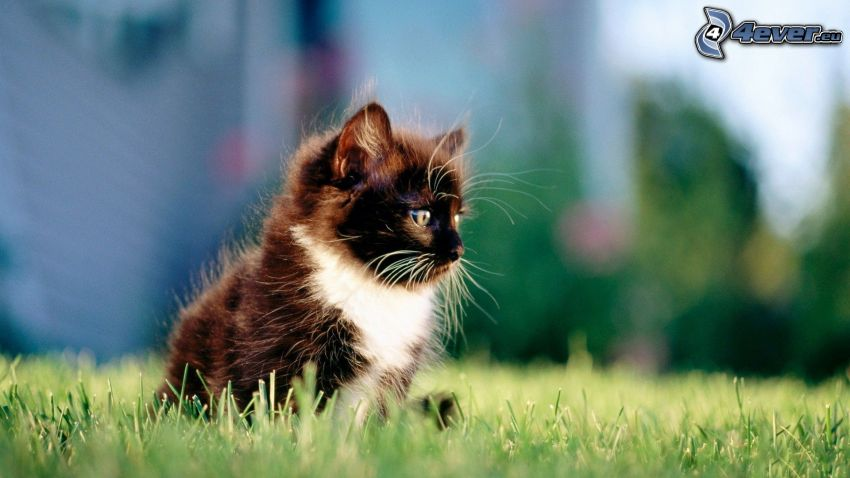 gatito peludo, gato en la hierba