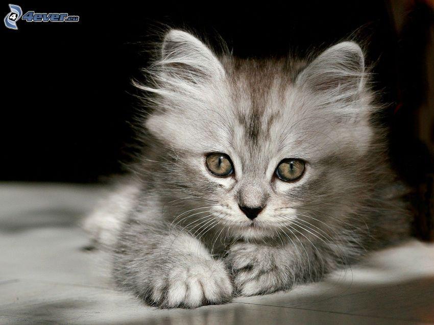 gatito peludo, mirada de gato