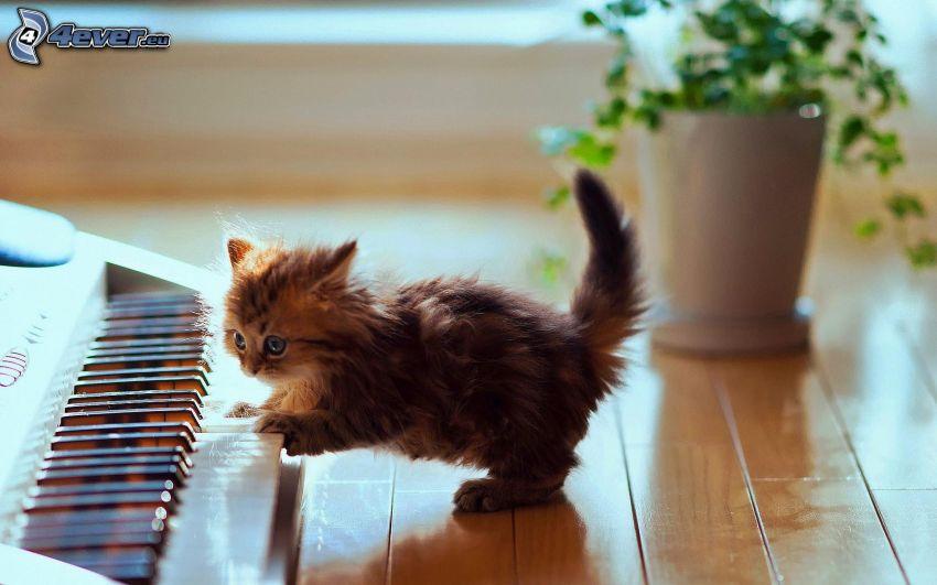 gatito peludo, piano