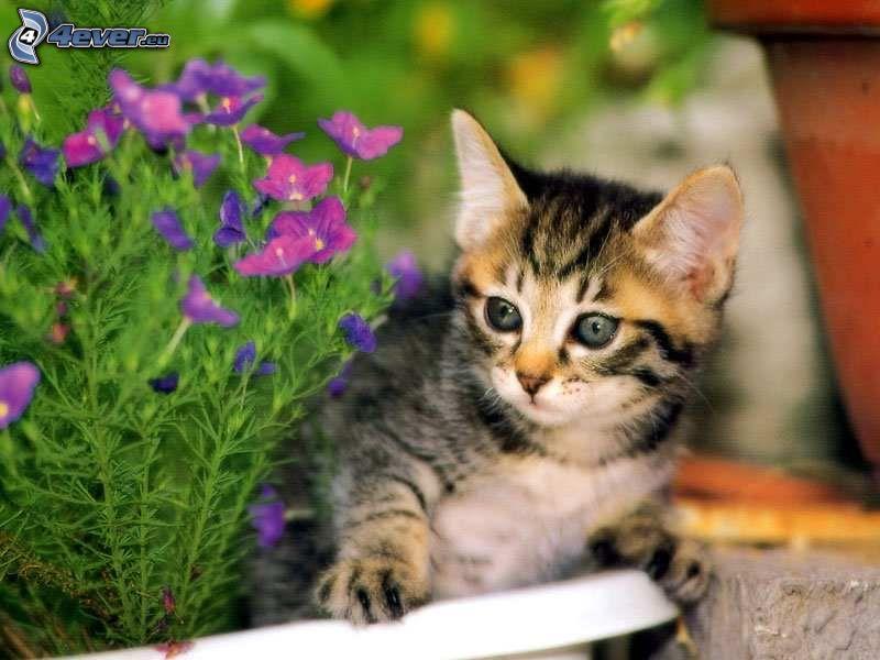 gatito pequeño, flor púrpura